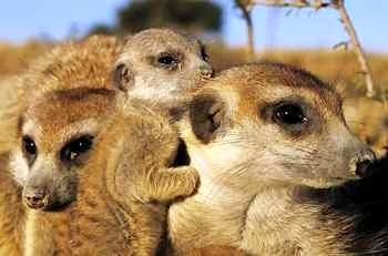 123043477831516413836_meerkats