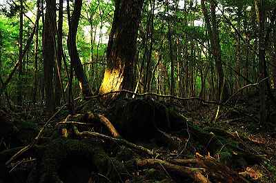 800pxaokigahara_forest_01